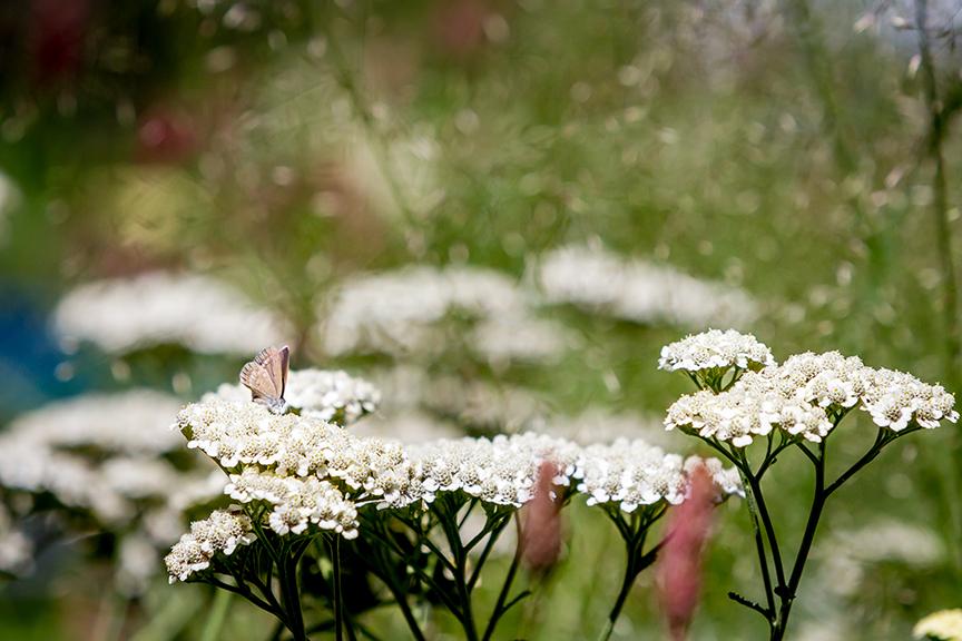 Ian Barker Gardens_Melbourne International Flower & Garden Show 2016_Erik Holt Photography_Achillea Mondpagode