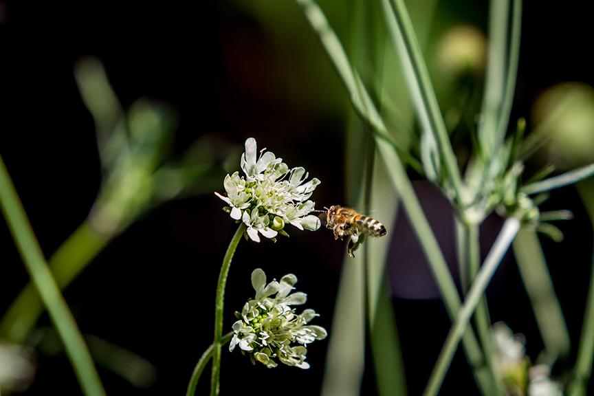 Ian Barker Gardens_Melbourne International Flower & Garden Show 2016_Erik Holt Photography_Scabiosa ochroleuca
