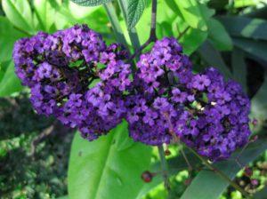 Heliotropium arborescens Lord Roberts. Ian Barker Gardens. Garden Notebook Edition 23
