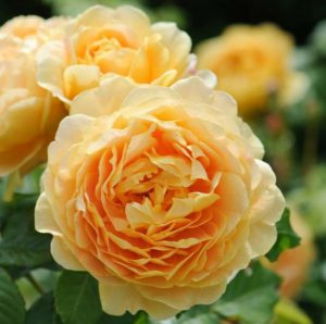 Rosa Golden Celebration. David Austin English rose. Ian Barker Gardens. Garden Notebook Edition 23