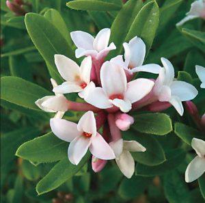 Ian Barker Gardens. Daphne 'Eternal Fragrance' Garden Notebook Edition 24