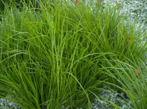 Lomandra used in Surrey Hills garden design project by Ian Barker Gardens