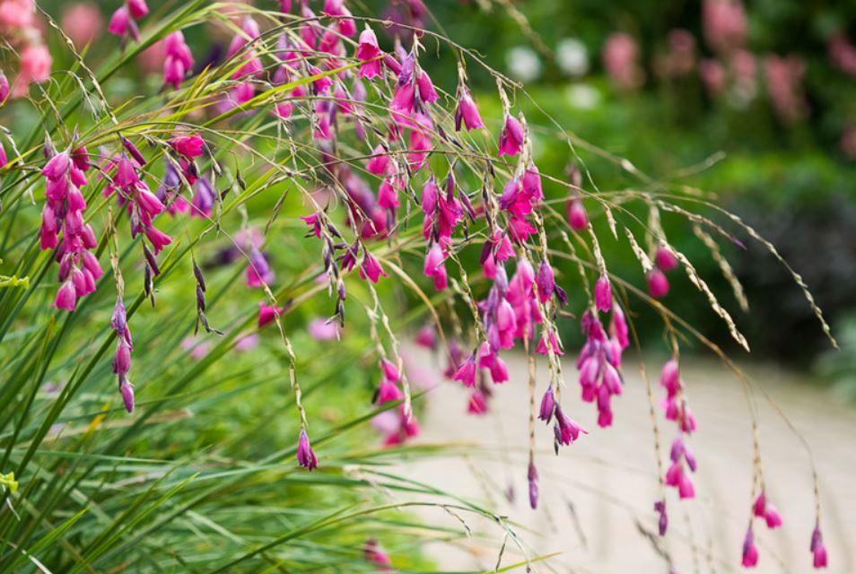 Dierama pulcherrimum featured by Ian Barker Gardens in Garden Notebook Edition 30