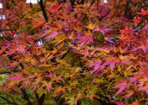 Acer Palmatum. Autumn tree featured on Ian Barker Gardens website. A favourite tree in our garden designs.