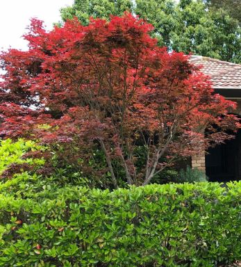 Acer Palmatum. A favourite tree for its Autumn colour in our garden designs. Featured here at our Surrey Hills project by Ian Barker Gardens