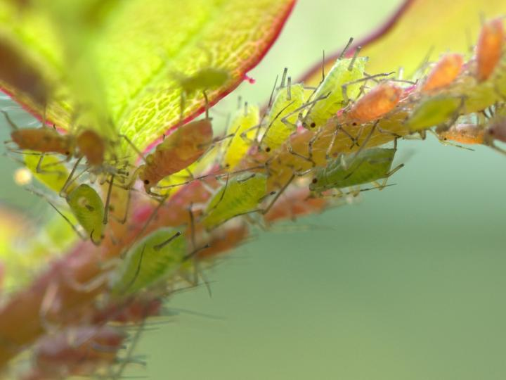 Aphids featured by Ian Barker Gardens in Spring Garden Maintenance guide