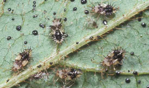 Azalea lace bugs featured by Ian Barker Gardens in Spring Garden Maintenance guide